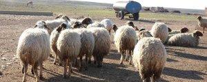 82 koyun gözaltında