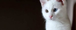 Wan kedisi 'arslan parçası' çıktı!