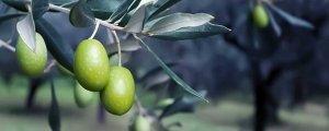 Bundesregierung verschließt Augen vor Olivenraub in Efrîn