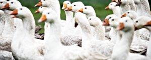 62 bin hindi ve ördek itlaf edilecek